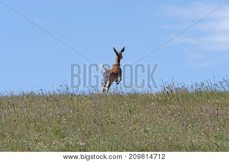 Deer Leaping across the Prairie in Theodore Roosevelt National Park in North Dakota