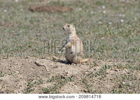 Prairie dog Watching from its Burrow in Theodore Roosevelt National Park