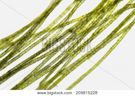 microscopic detail of green filamentous freshwater algae