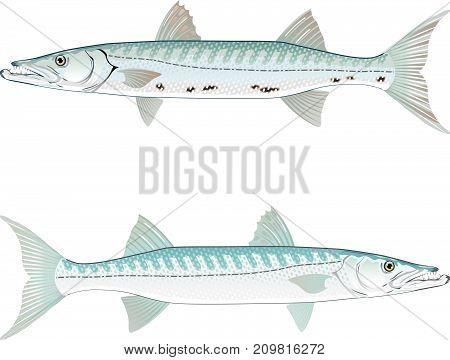 Barracuda vector illustration clip-art eps image fish