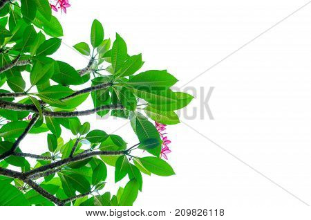 green Natural leaves on white background .