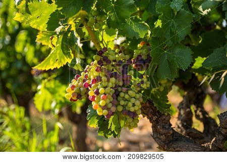 The bunch of grapes ripens under the summer sun.