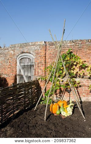 Pumpkins and Gourds outside in English garden