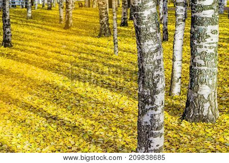Autumn landscape. The trunks of silver birches on a background of yellow leaves on the ground in the park