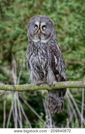 An upright photograph of a great gray owl perched on a branch in a wood facing forward