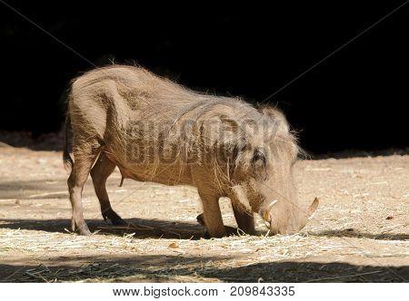 Wart hog kneeling to eat