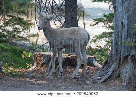 Baby Bighorn Sheep At The Two Medicines Lake Region Of Glacier National Park In Montana United State