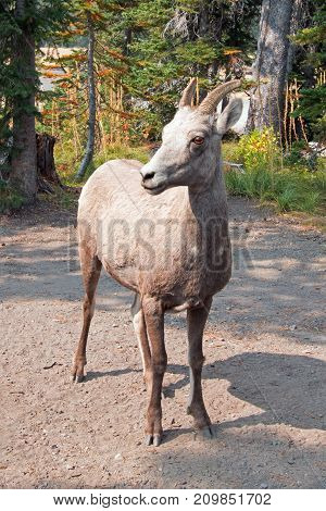 Adult Bighorn Sheep In Two Medicines Lake Region In Glacier National Park In Montana United States