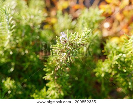 resh Rosemary Herb grow outdoor. Rosemary leaves Close-up in italy