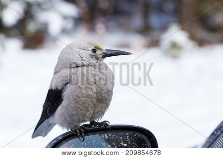 Clark's Nutcracker at Lake Louise in Banff National Park.