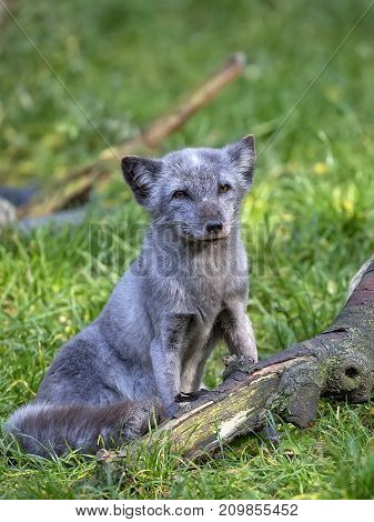 Silver fox in a clearing in the wild