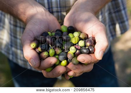 Mid-section of farmer holding a hand full of olives in farm