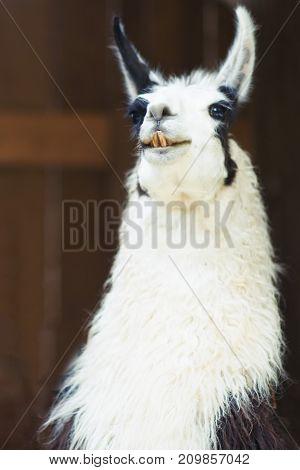 Nice White Lama In An Animal Center
