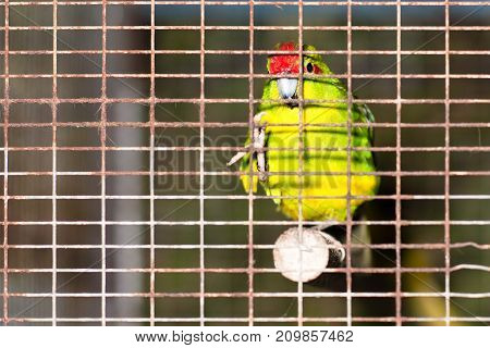 Red bird in cage observes tourists in autumn