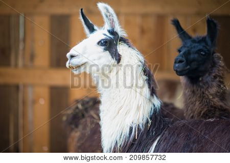 Some Lama In An Animal Center And Farmhouse
