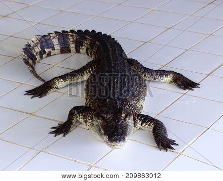 Crocodiles in pond In the Crocodiles Farm.
