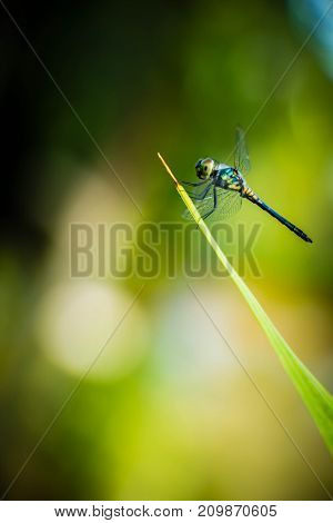 Dragonfly grasshopper leaves with green background blurred