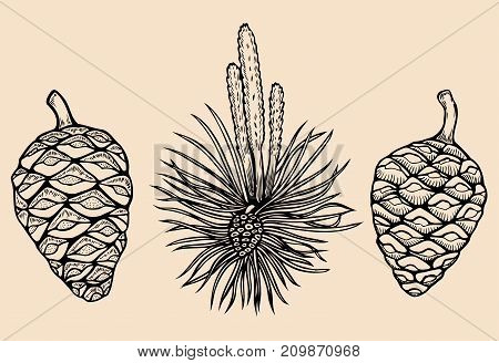 Forest collection of coniferous branches and pine cones isolated on white background. Hand drawn design vector elements.