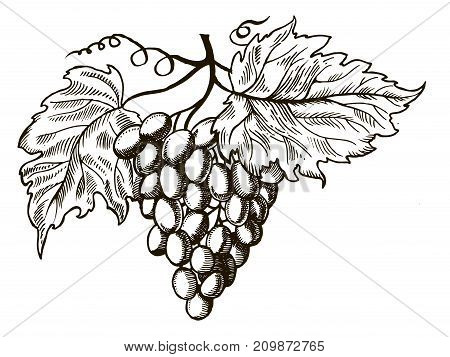 Bunch of grapes with leaves engraving vector illustration. Scratch board style imitation. Hand drawn image.