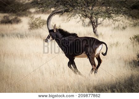 Sable antelope in the field on a bright sunny day