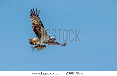 Osprey (pandion Haliaetus) Carrying Fish In Talons In Flight