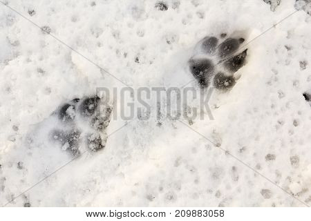 Dog feett print in the snow animal background