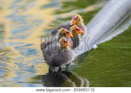 Close-up of a little Baby Coots at the Lake. View on a beautiful young Coots in the Water. Moorhens and Coots. Nature and Animal Backgrounds.