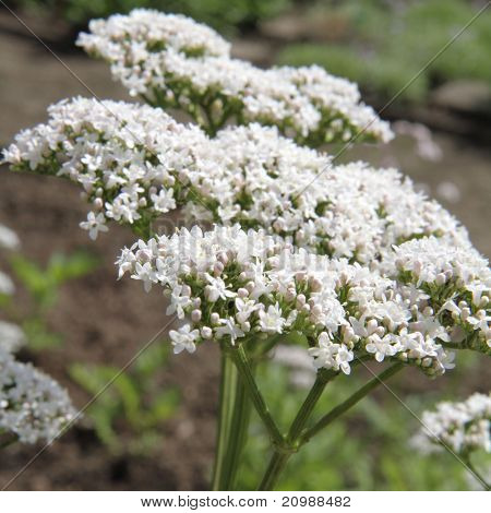 A Valerian plant with white blooming flowers poster