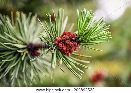 Pine cones growing in summer in Iceland.