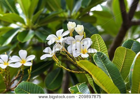 Asian flower growing on a tree in the tropics. White plumeria on natural background.