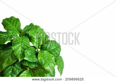 Young sprouts of coffee tree in a pot. Coffee tree leaves with drops of water isolated on white background. Free space for text