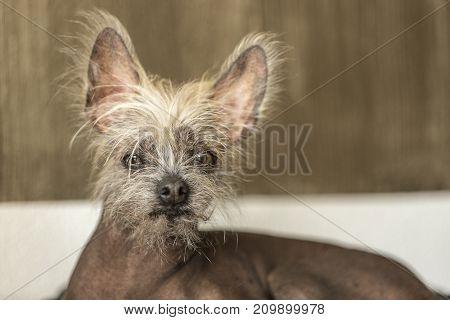 Portrait Of A Chinese Hairless Dog