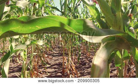 Corn field corn farm steadicam. green grass agriculture united states nature video usa motion corn farming farm