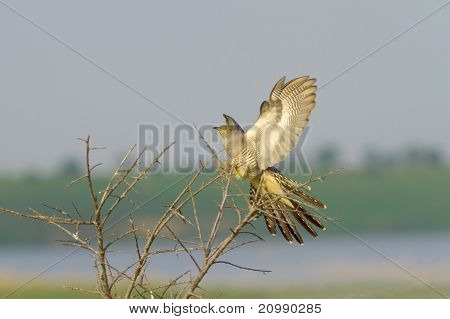 Common Cuckoo landing on the bush / Cuculus canorus ( European Cuckoo)