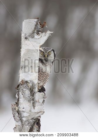 Northern Hawk-Owl (Surnia ulula) perched on a wooden post in winter