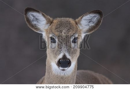 A white-tailed deer up close in an open meadow