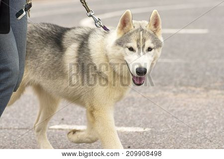 Laiki is a common name for the breeds of hunting dogs in the northern forest zone of Europe, Asia and North America. Refers to a group of Spitz.. Space under the text. 2018 year of the dog in the eastern calendar Concept: friend, protection, loyalty