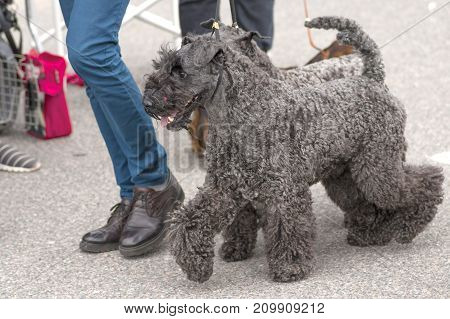 Schnauzer dog. Space under the text. 2018 year of the dog in the eastern calendar. Concept: parodist dogs, dog friend of man, true friends, rescuers.