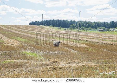 sheep in a field, sheep in the paddock, the sheep strayed from the flock, sheep eat dry grass, fleece