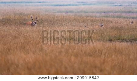 Red Deer Stag In Grassland Chasing Hinds.