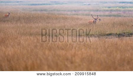 Red Deer Stag In Rutting Season In High Yellow Grass.