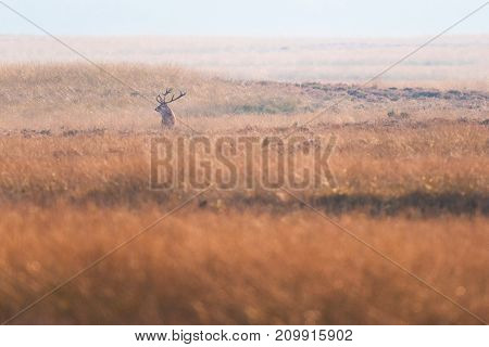 Solitary Red Deer Stag In High Yellow Grass.