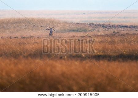 Solitary Bellowing Red Deer Stag In High Yellow Grass.