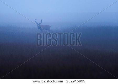 Red Deer Stag (cervus Elaphus) In Misty Meadow With High Grass.