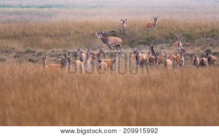 Bellowing Red Deer Stag With Herd Of Hinds In High Grass.