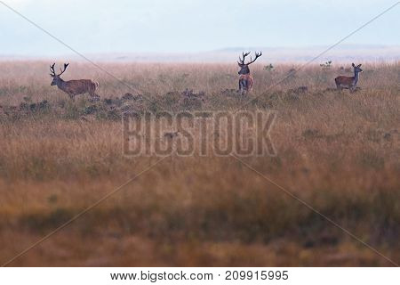 Two Red Deer Stag And One Hind In Grassland.