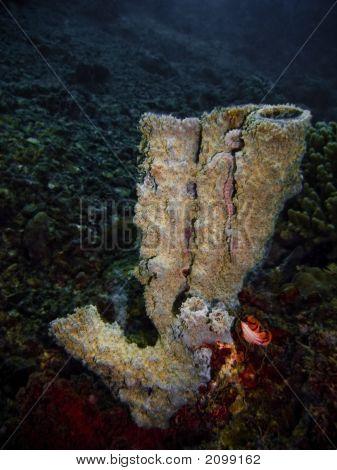 Sponge Coral