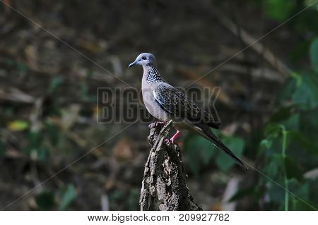 Spotted Dove Spilopelia Chinensis Beautiful Birds Of Thailand