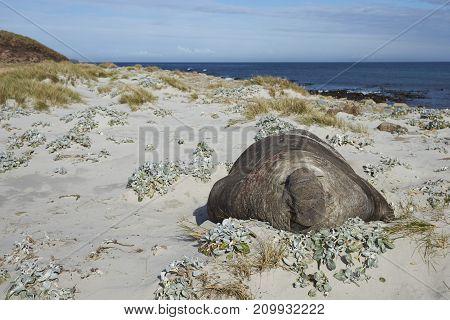 Male Southern Elephant Seal (Mirounga leonina) lying amongst the sand dunes on Sea Lion Island in the Falkland Islands.