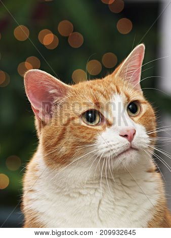 a pet cat portrait in front of Christmas tree.